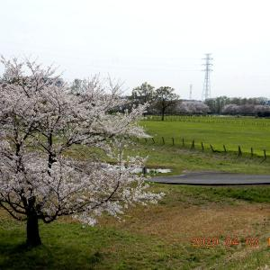 No.2004 サクラソウと桜の競演なれど・・・。