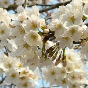 桜・・・2014