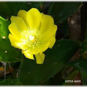 ☆サボテンの花。