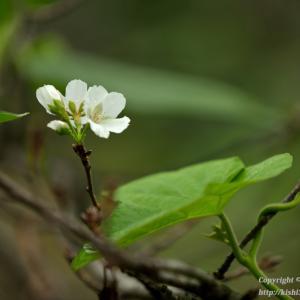 秋に咲いたソメイヨシノ