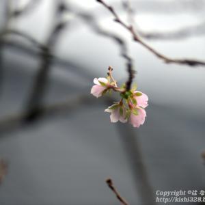 コスモスじゃない秋桜