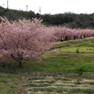 浜松の新名所・東大山の河津桜