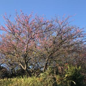 河津 正月桜