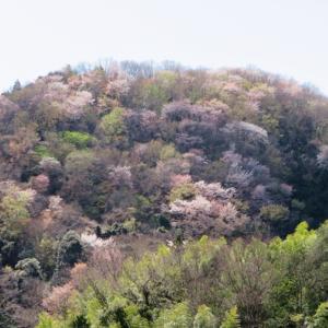湯ヶ島の山桜