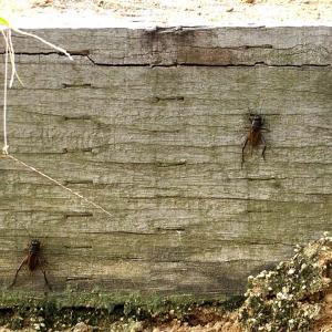 コオロギが「壁登り競技大会」。
