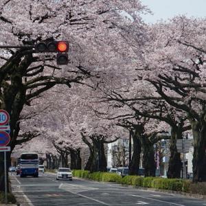 日立市街 平和通りの桜