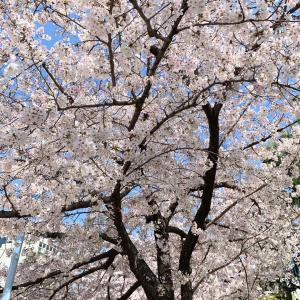 2020年4月 桜満開の中・・・