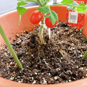 ベランダ菜園 ミニトマトがイマイチ・・・