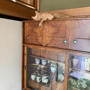 【家猫生活約6週間】あずきさんの近況