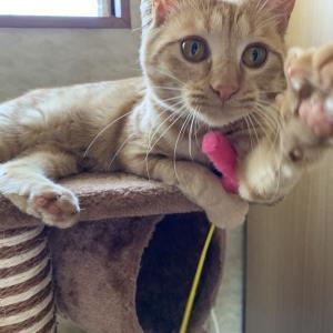 【家猫生活2か月】 あずきさんの近況