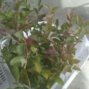 果樹園にしたい田んぼにブルーベリーを6本植えた