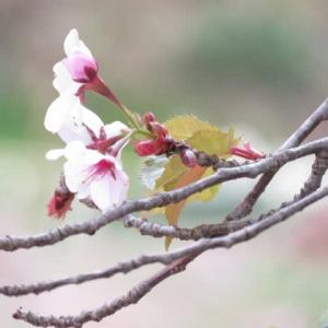 天王桜 / 片品
