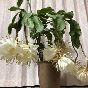 月下美人が9輪開花