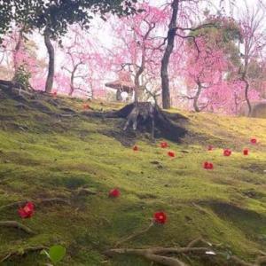 城南宮の枝垂れ梅と椿