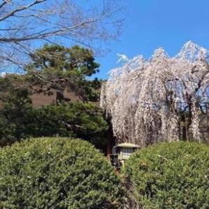京都の桜 千本釈迦堂
