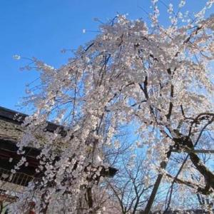 京都の桜 平野神社