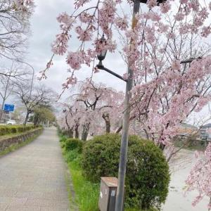 京都の桜 鴨川の様子