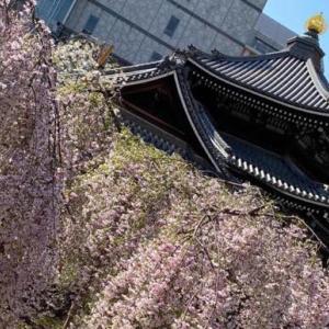 京都 六角堂の桜があまりにも綺麗で...
