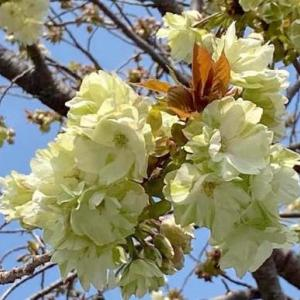 黄色い桜「ウコン」