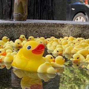 【粟田神社】手水鉢にアヒルがいっぱい!話題です