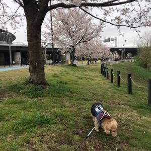 ノエルさんと花見散歩 @新横浜公園