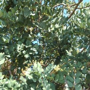 キプロス紀行 ~ クリオン遺跡で見つけた「 いなご豆 」の木。