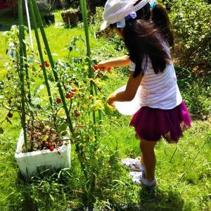 お庭でトマト摘み♪