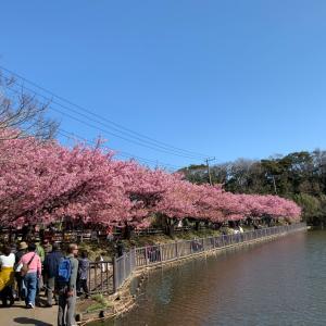 河津桜っ!