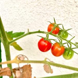 我がプチトマト