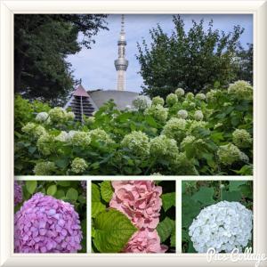 隅田公園の紫陽花とヨーガ