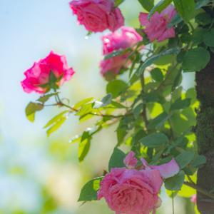 薔薇は君より美しい。。。1
