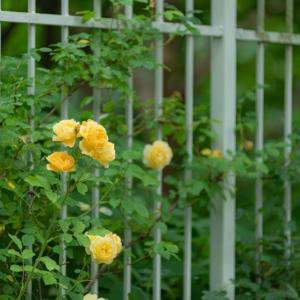 Secret rose garden 3