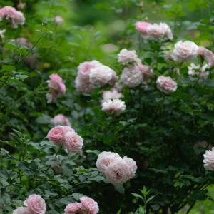 Secret rose garden 4