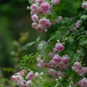 Secret rose garden 6
