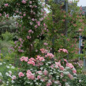 Secret rose garden 7
