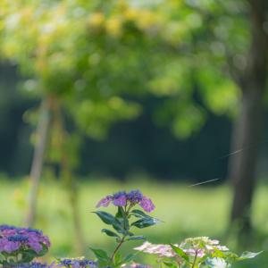愛しの紫陽花 4