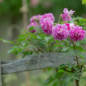 Secret rose garden 8