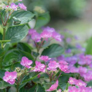 愛しの紫陽花 8