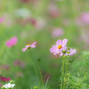 きらり*秋桜 3