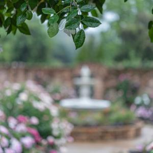 雨の日の薔薇たち