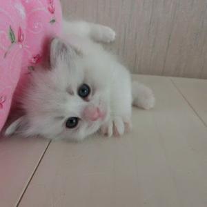 2月21日生まれのラグドールの子猫たち=^_^=