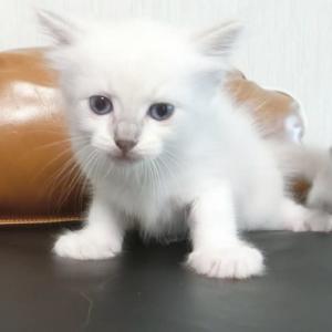 7月1日生まれの子猫&クリームの男の子=^_^=