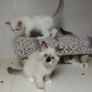 7月10日生まれの子猫達、卒業間近です=^_^=