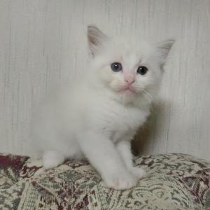 8月18日生まれのラグドールの子猫達=^_^=