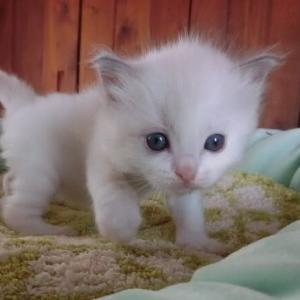 9月14日生まれのラグドールの子猫、募集開始です=^_^=