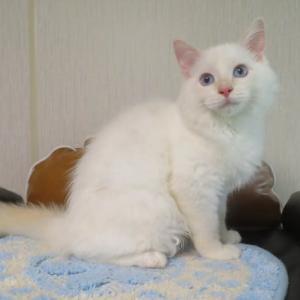 4月23日生まれの子猫達、オーナー様募集中(=^・^=)