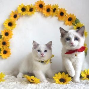 4月14日生まれの子猫達の写真届いています(=^・^=)