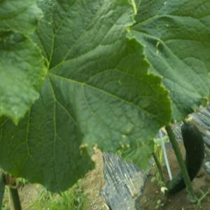 家庭菜園で野菜が収穫できるようになりました。