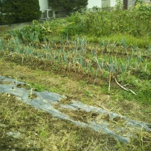 我が家の家庭菜園は近く終焉を迎えます。