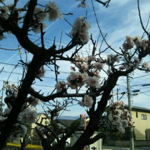私の散歩コースにもようやく春が来た。